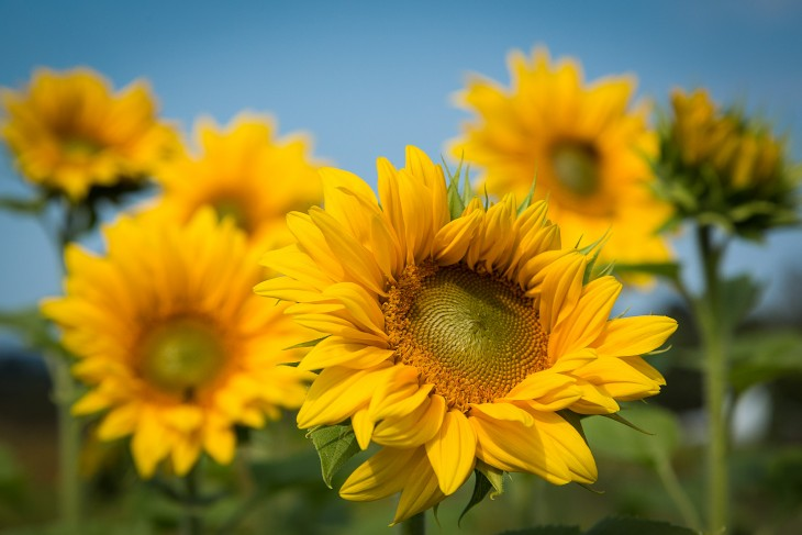 sunflowers-sauvie-island